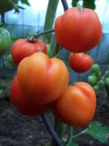 tomatos-1-427008-m